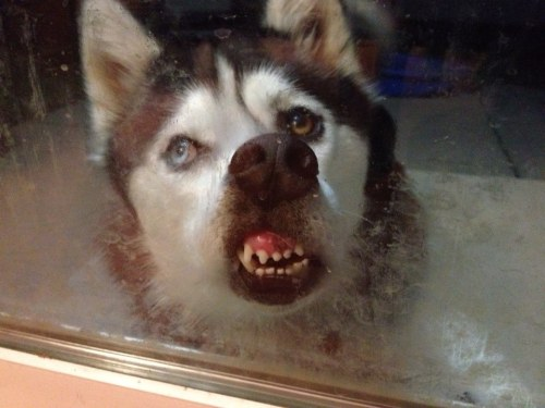 dog with face smashed on glass